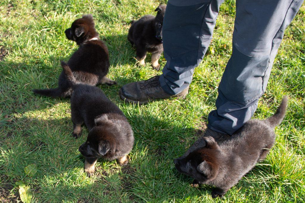 Protection Dog Puppies & Breeding