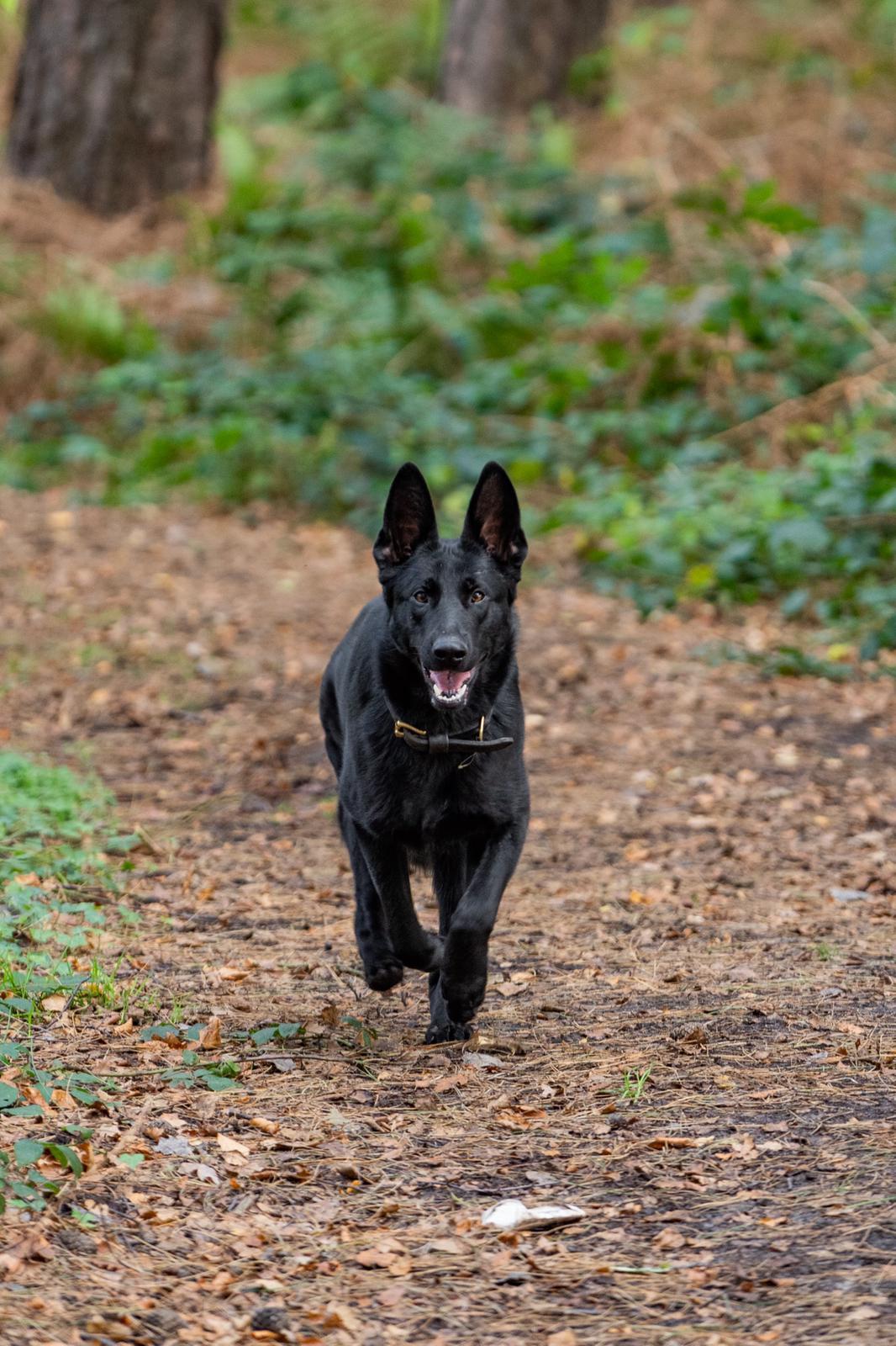 Protection Dog Rosa